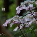 写真: 瀬戸神社~山あじさい-458