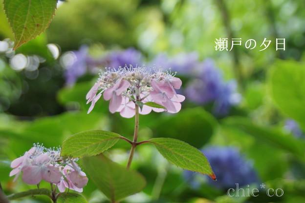 写真: 瀬戸神社~山あじさい-463