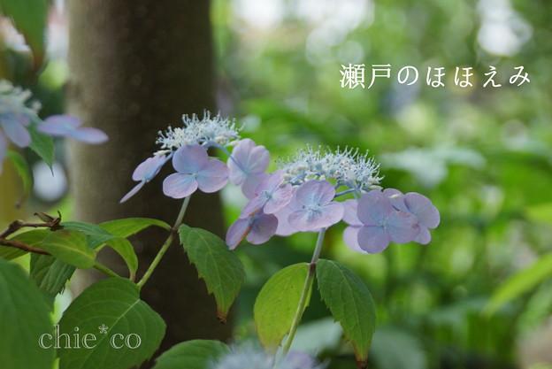 瀬戸神社~山あじさい-464