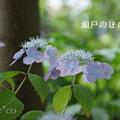 写真: 瀬戸神社~山あじさい-464
