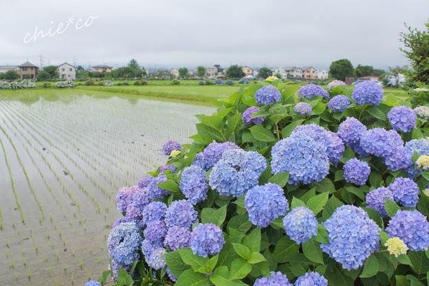 開成町~あじさい-085
