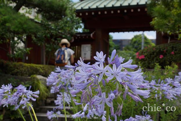 写真: アガパンサス咲く・・大巧寺-002