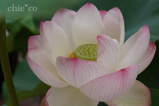 写真: 蓮の花~天照爪紅(てんしょうつまべ)~