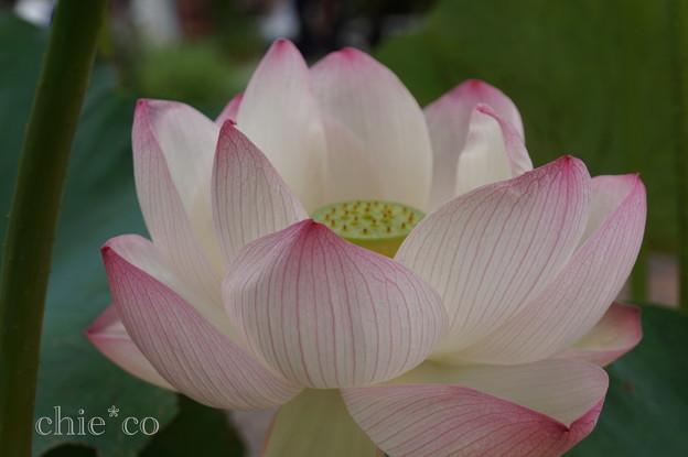 蓮の花~天照爪紅(てんしょうつまべ)~