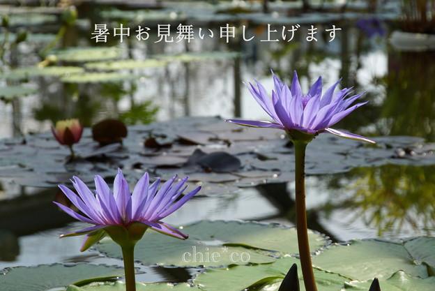 写真: 睡蓮(すいれん)。。-006