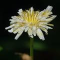 写真: 白花たんぽぽ。。