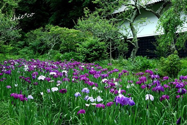 花菖蒲咲く東慶寺-003
