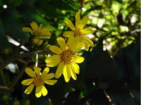 光に華やいで・・・つわぶきの花