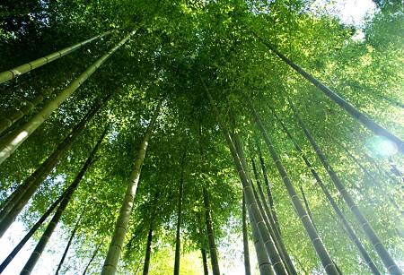 朝陽の竹林・・♪