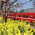 写真: 京浜急行と・・三浦の河津桜~♪