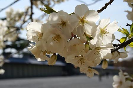 京都 桜さんぽ~ 3