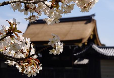 京都 桜さんぽ~ 4