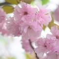 写真: 今年の桜も楽しませてくれました。