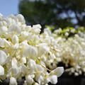 写真: 早くも藤の花が。