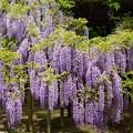 写真: 満開の藤の花