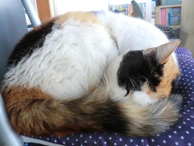 リアル眠り猫