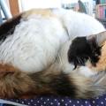 Photos: リアル眠り猫