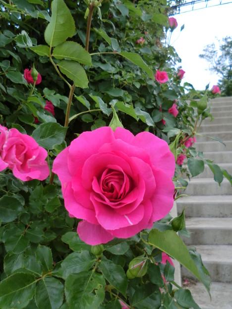 薔薇の園_2