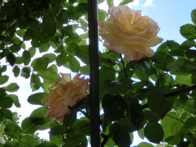 天空の薔薇