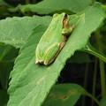 写真: frog