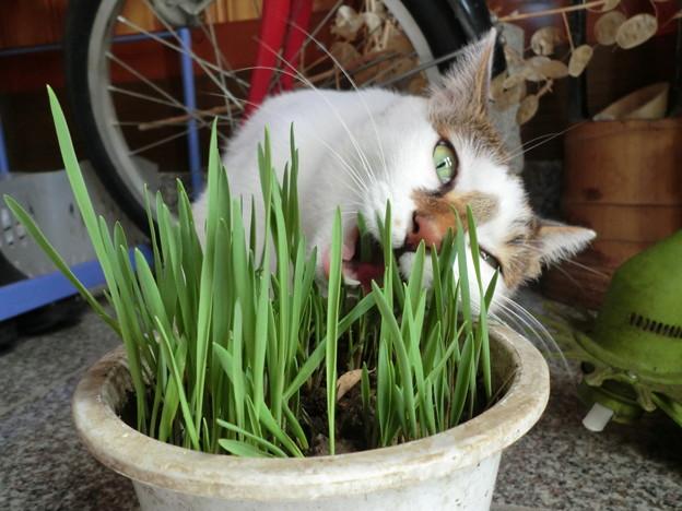 猫草タイム1