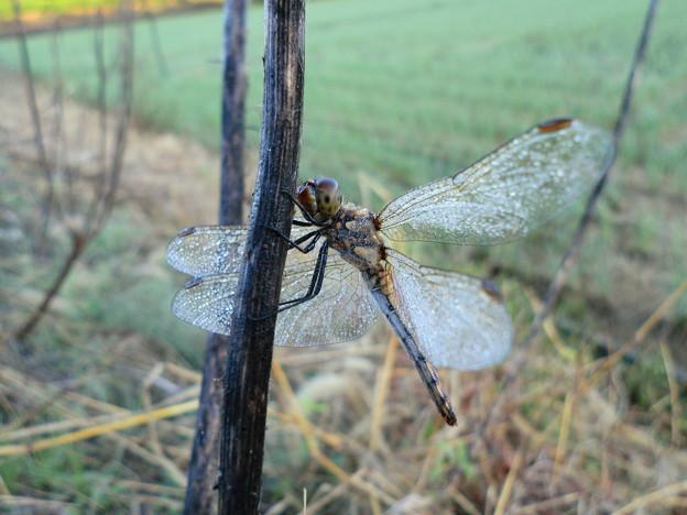 朝露を纏う翅1