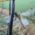 写真: 朝露を纏う翅1