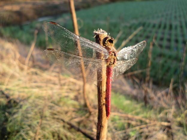 写真: 朝露を纏う翅2