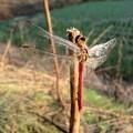 朝露を纏う翅2