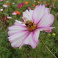 写真: コスモスと蜜蜂