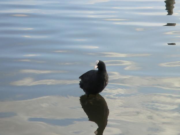 水鳥の羽休め