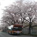 写真: 桜とバス