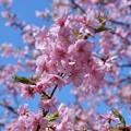 写真: 東大山の河津桜