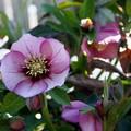 写真: 花壇のクリスマスローズ