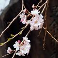 Photos: 万葉の森  枝垂れ桜