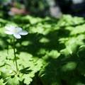 Photos: こもれびに咲く二輪草