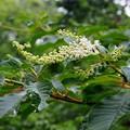 Photos: リョウブの花