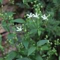 咲き始めた富幕山のアケボノソウ