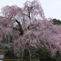 神原の枝垂れ桜
