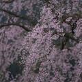 写真: 枝垂れて咲く