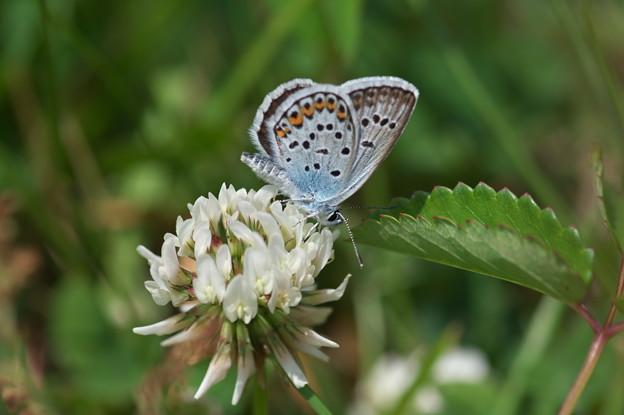 蝶の季節(ヒメシジミ)