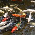 Photos: 鯉が窪の元気印。