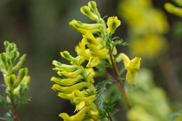 季節の花(フウロケマン)