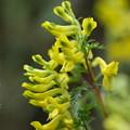 写真: 季節の花(フウロケマン)