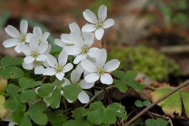 季節の花(ミヤマカタバミ)