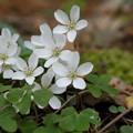 写真: 季節の花(ミヤマカタバミ)