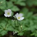 写真: 季節の花(ニリンソウ)
