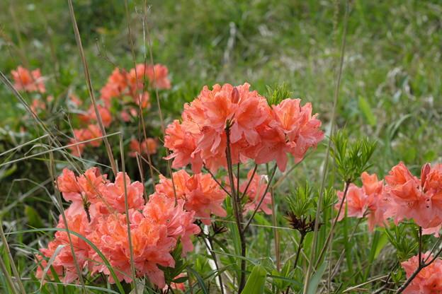 写真: 初夏の花(レンゲツツジ)