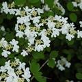 写真: 初夏に咲く(ヤブデマリ)