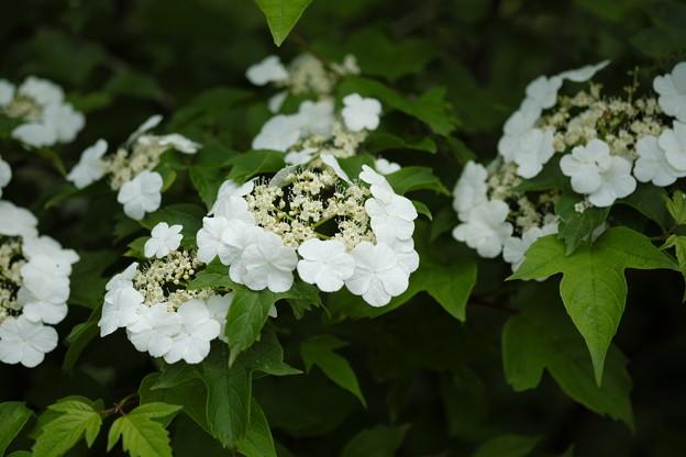写真: 初夏の高原に咲く花(カンボク)
